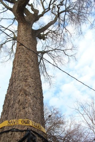 Commission votes to cut down tallest tree in Urbana