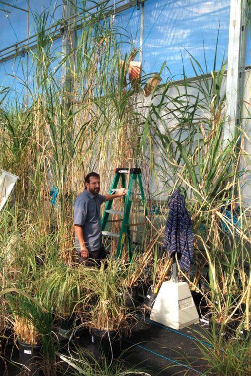University+researchers+optimize+biofuel+potential+of+sugarcane%2C+sorghum