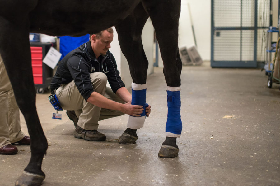 A+graduate+student+wraps+a+horse%E2%80%99s+shins+with+adhesive+to+prevent+further+injuries+at+the+Large+Animal+Clinic+on+Monday.