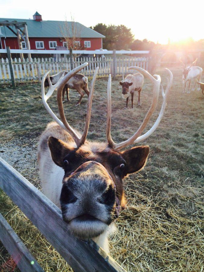 Reindeer Ranch flourishes in Rantoul