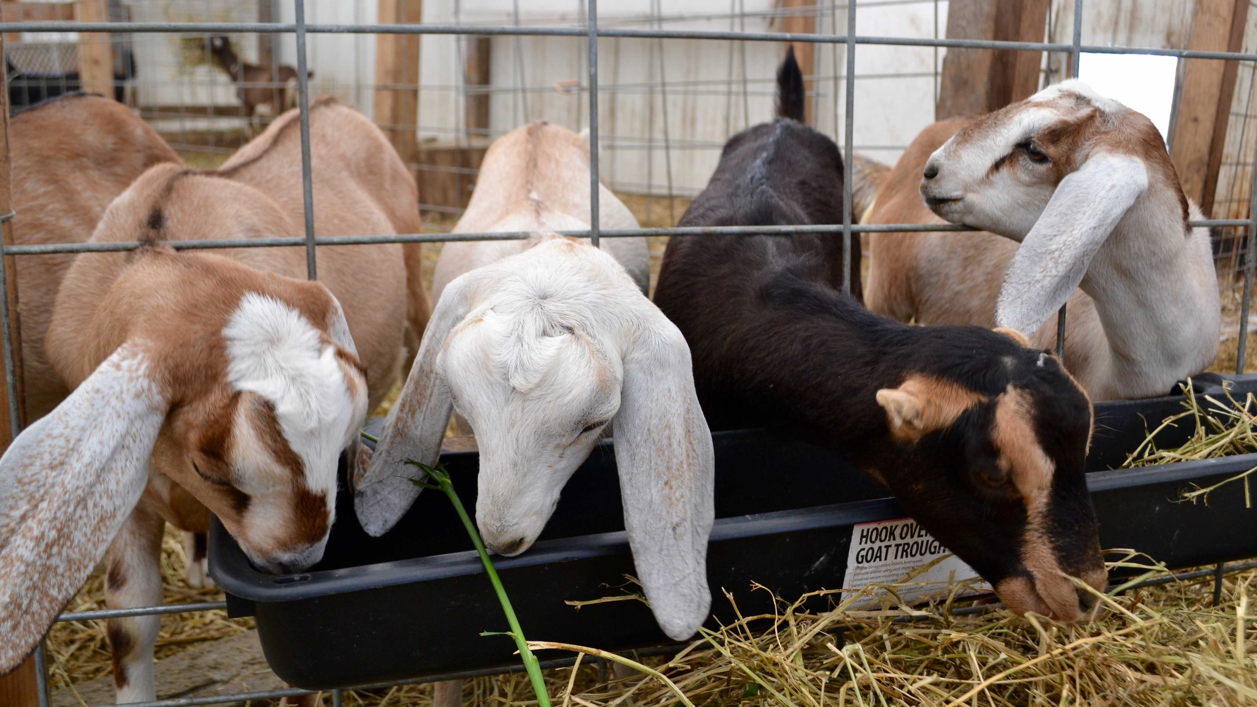 A few goats eat from a trough of straw at the Open House of Prairie Fruits Farm and Creamery on Wednesday, June 3.