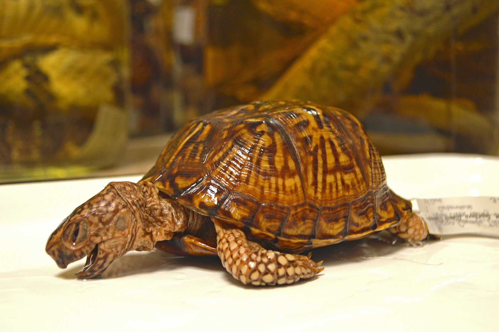 This species of turtle is the Terrapene carolina, otherwise known as the common box turtle. This specimen was collected in Jackson County, Illinois over 75 years ago and is part of a collection from Southern Illinois University Carbondale.