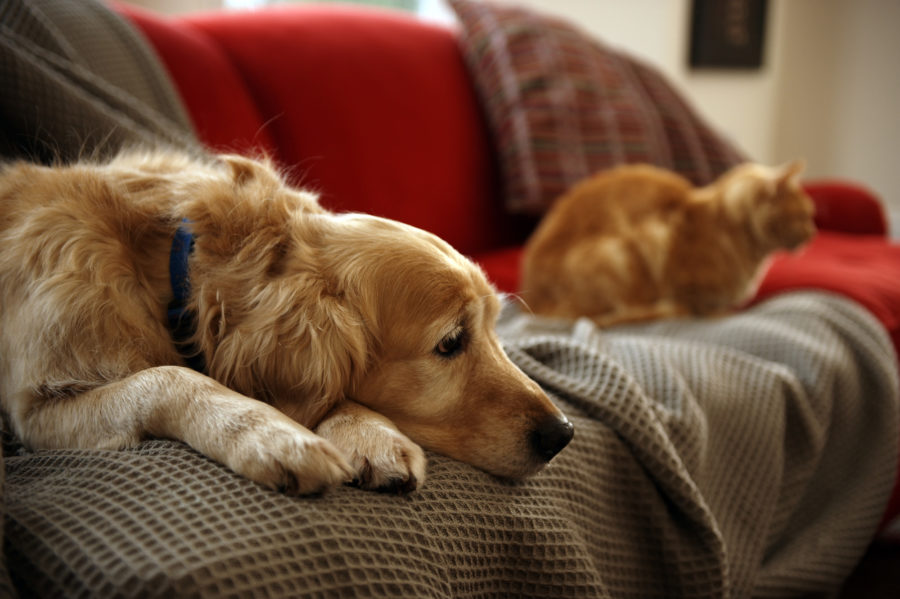 Golden+retriever+dog+with+ginger+tabby+cat+resting+on+sofa+%28focus+on+foreground%29