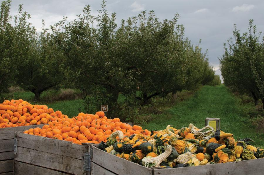 Containers filled with squash and pumpkins are seen in front of rows of apple trees, sans apples, at Curtis Orchards
