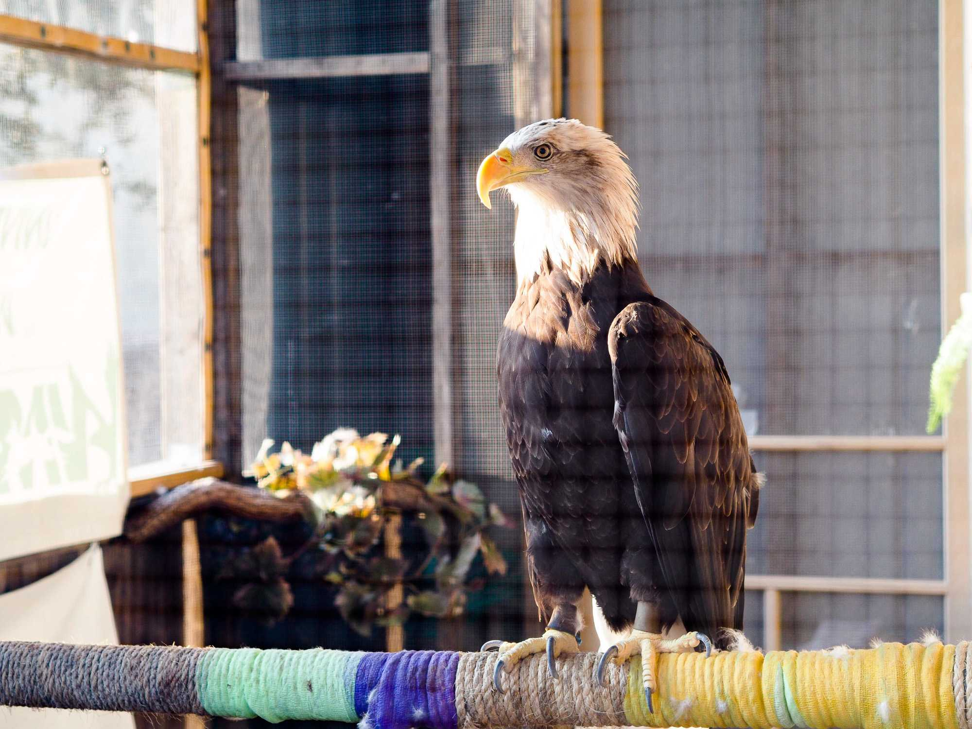 Behind the Vet Med Basic Sciences Building on Sept. 6, a newly introduced bald eagle named Rose has found a home in Urbana.