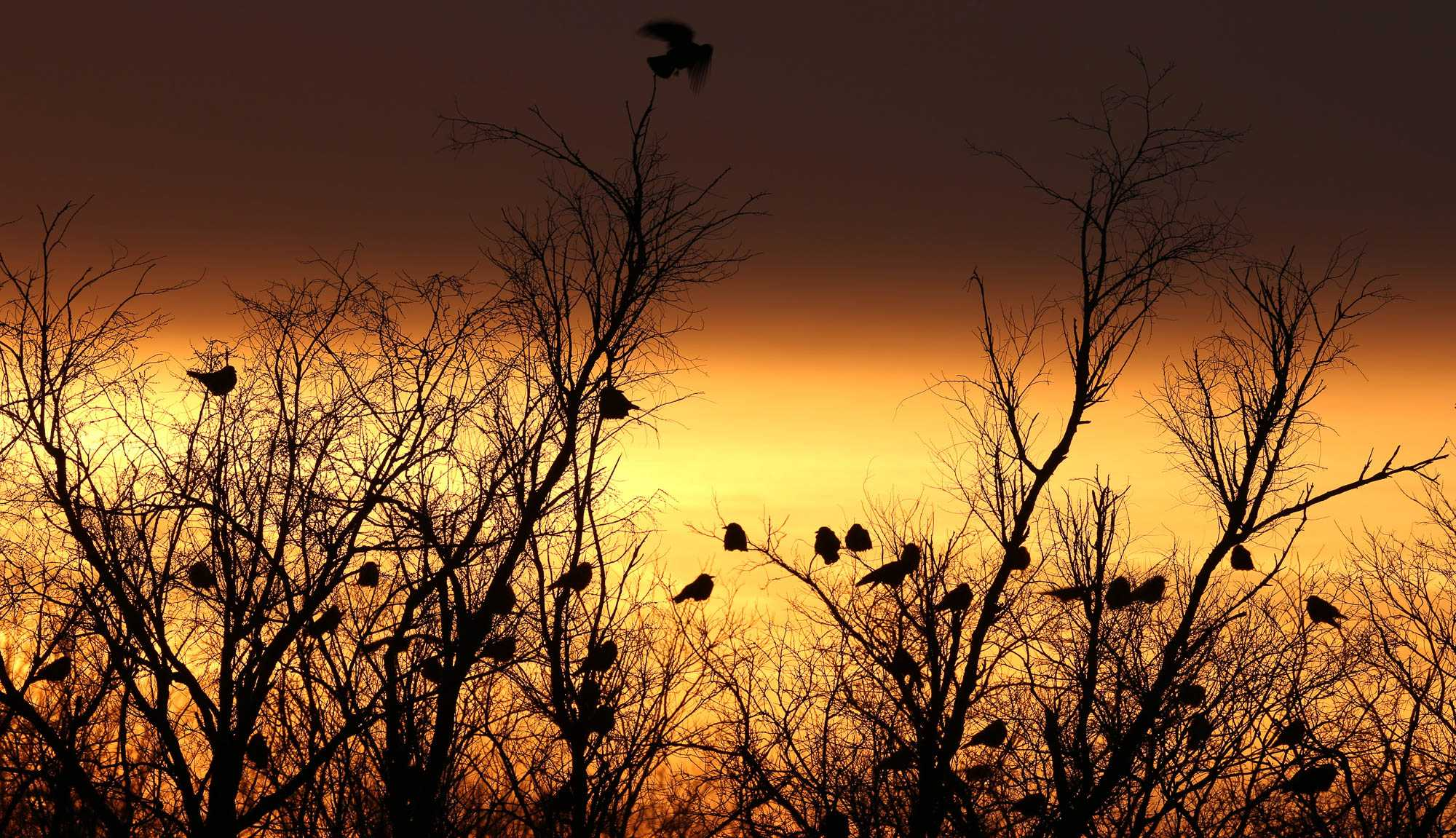 Crows flock along the Vermillion River in Danville, Illinois, January 24, 2013.