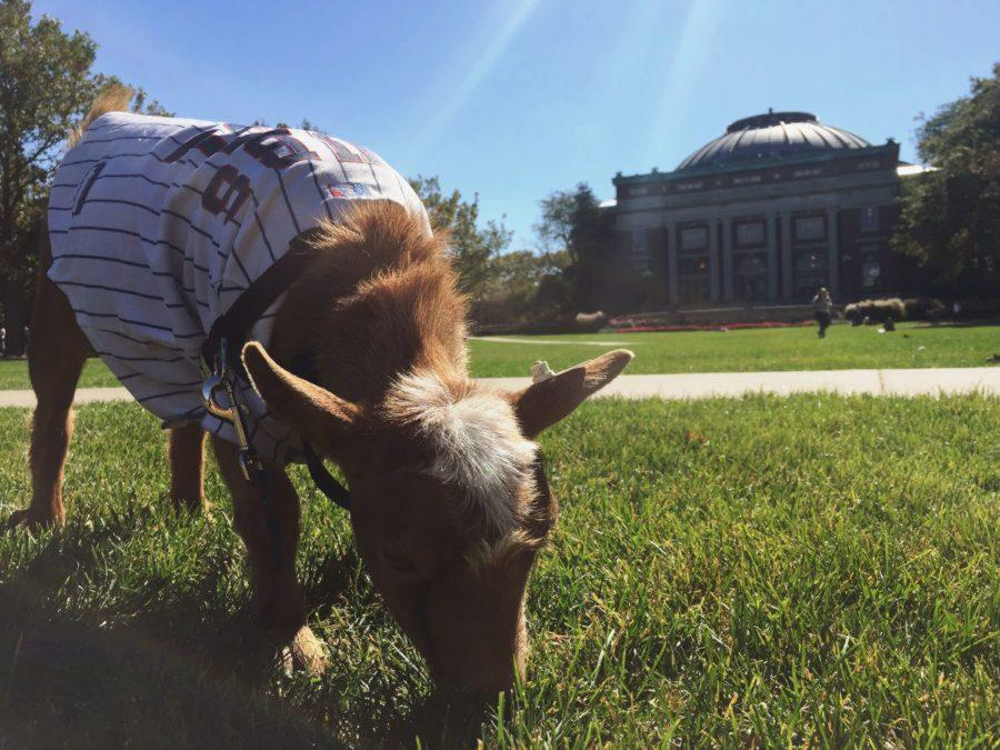 Littleton the Goat munches on some grass on the Quad.