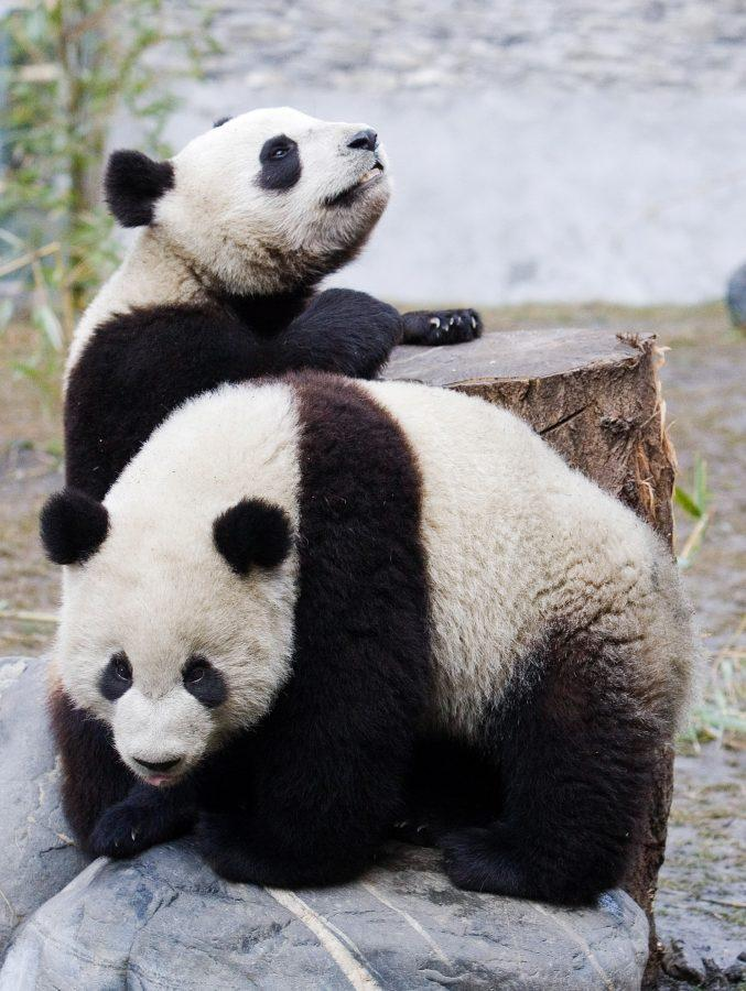 Panda bears Tuantuan (top) and Yuanyuan (bottom) play within their protected enclosure at the Wolong Panda Protection Reseach Center in Wolong, China, February 22, 2006.