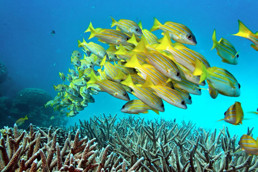A school of fish hovers over staghorn coral on the Great Barrier Reef in Australia. Columnist Tyler Panlilio says climate change is responsible for the decline of the reef, and encourages students to be aware of climate change.