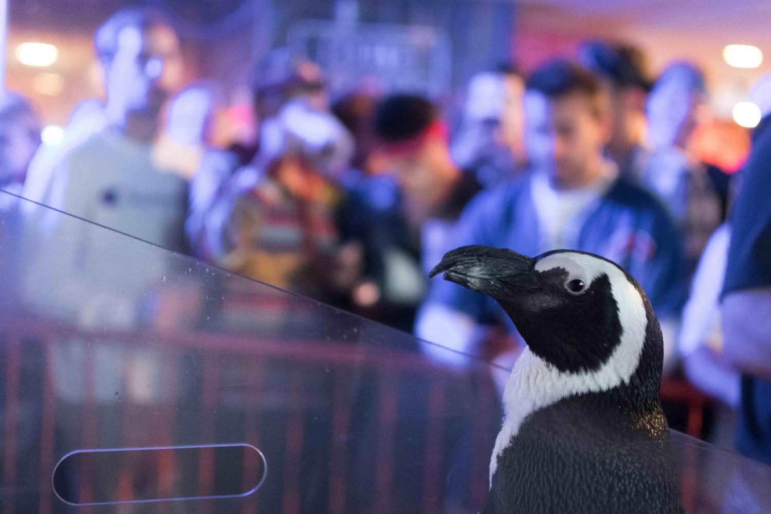 Blueberry, an African penguin, poses for photos at KAM'S happy hour Friday. The Wave Foundation in partnership with KAM'S held the event Friday to raise money for African penguins that are currently on the verge of extinction.