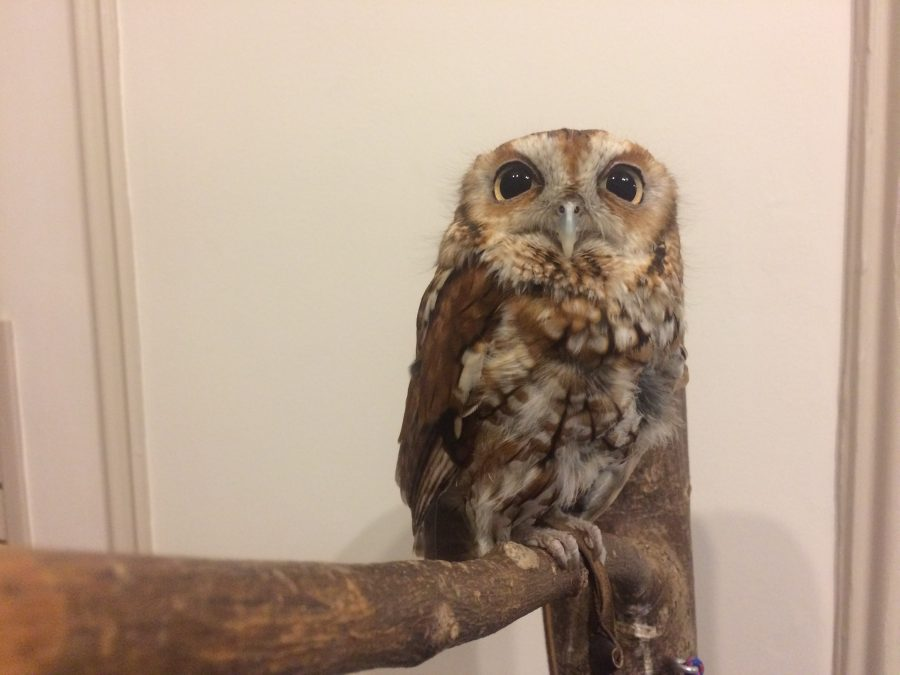 A+red+morph+eastern+screech+owl+perches+at+the+Animal+Expo.+The+Orpheum+Children%E2%80%99s+Museum+hosted+the+event+Saturday%2C+where+children+interacted+with+the+animals.