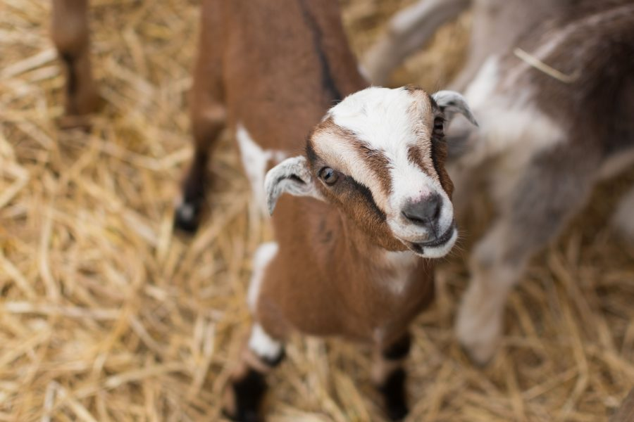 Newborn+goats+play+in+their+pen+at+Prairie+Fruits+Farm+and+Creamery+on+Saturday.+Attendees+can+come+to+the+farm+to+pet+and+feed+goats+during+Babies+and+Breakfast%2C+an+event+every+Saturday+until+April+29+from+9+a.m.+to+noon.+
