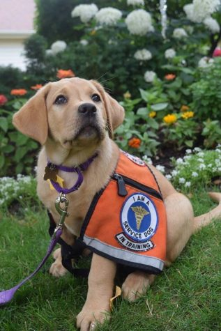 Two puppies recruited as Illini Service Dogs