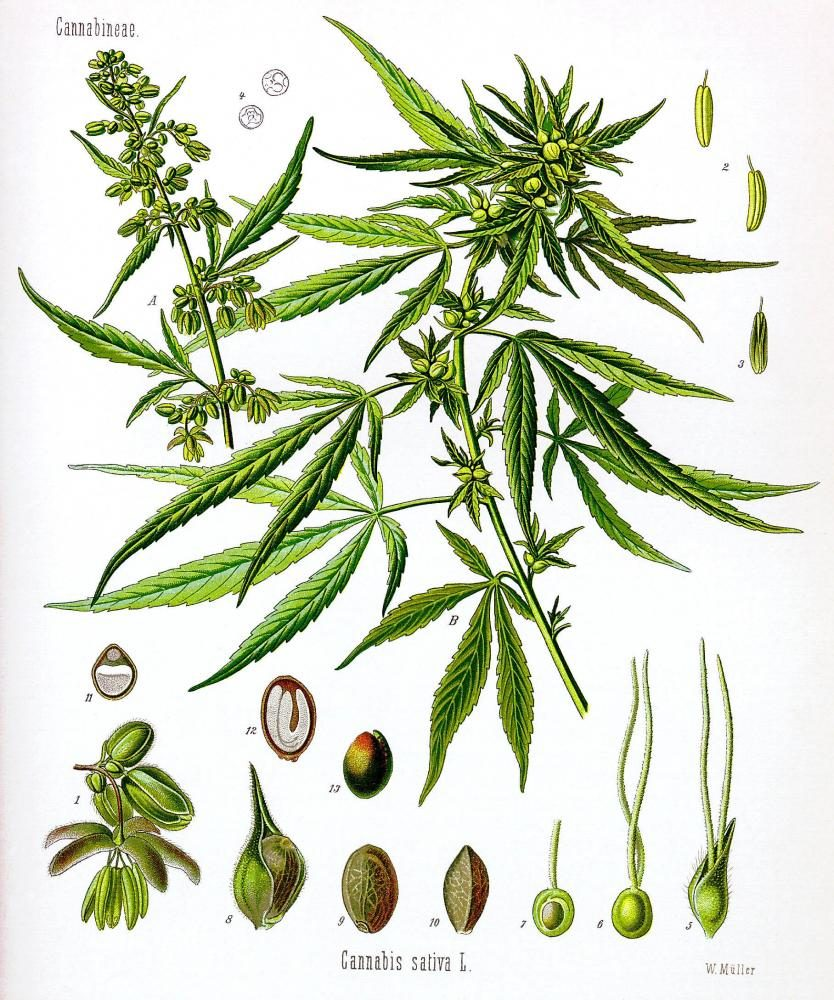 An+illustration+of+a+hemp+plant+depicted+in+various+developmental+stages+from+From+Franz+Eugen+K%C3%B6hler%27s+Medizinal-Pflantzen.