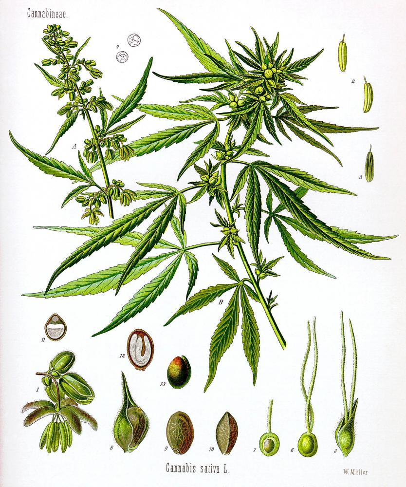 An illustration of a hemp plant depicted in various developmental stages from From Franz Eugen Köhler's Medizinal-Pflantzen.