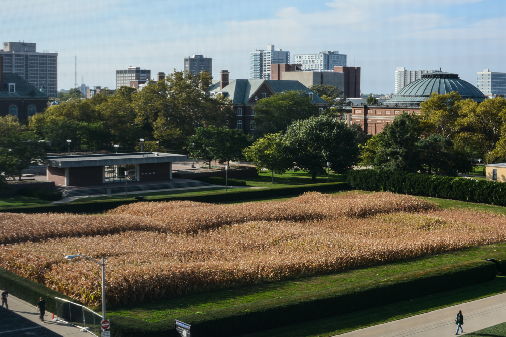 Corn grows on the Morrow Plots on Oct. 5, 2015