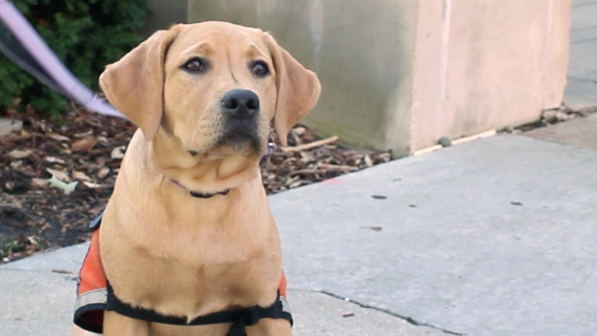 Alma and Newman: Welcoming the youngest Illini Service Dogs to campus
