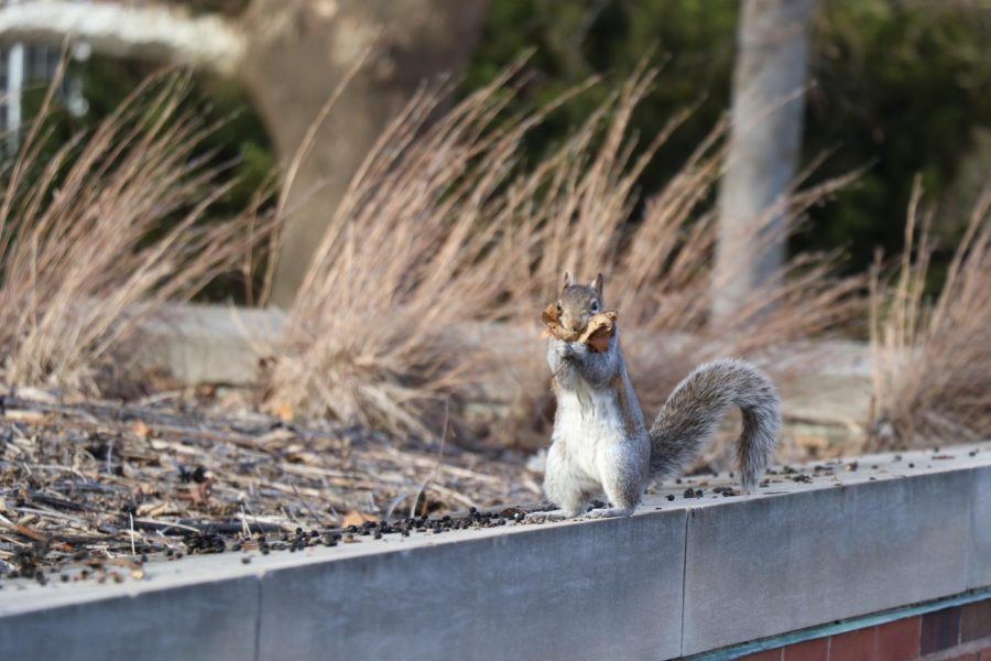 A+squirrel+gathers+leaves+near+the+Undergraduate+Library+on+Feb.+10.