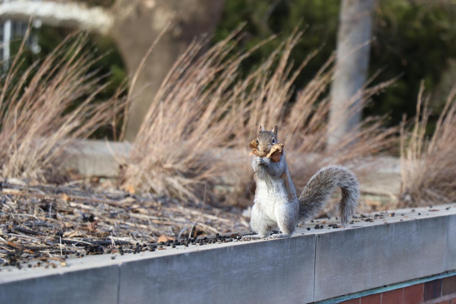 A squirrel gathers leaves near the Undergraduate Library on Feb. 10.