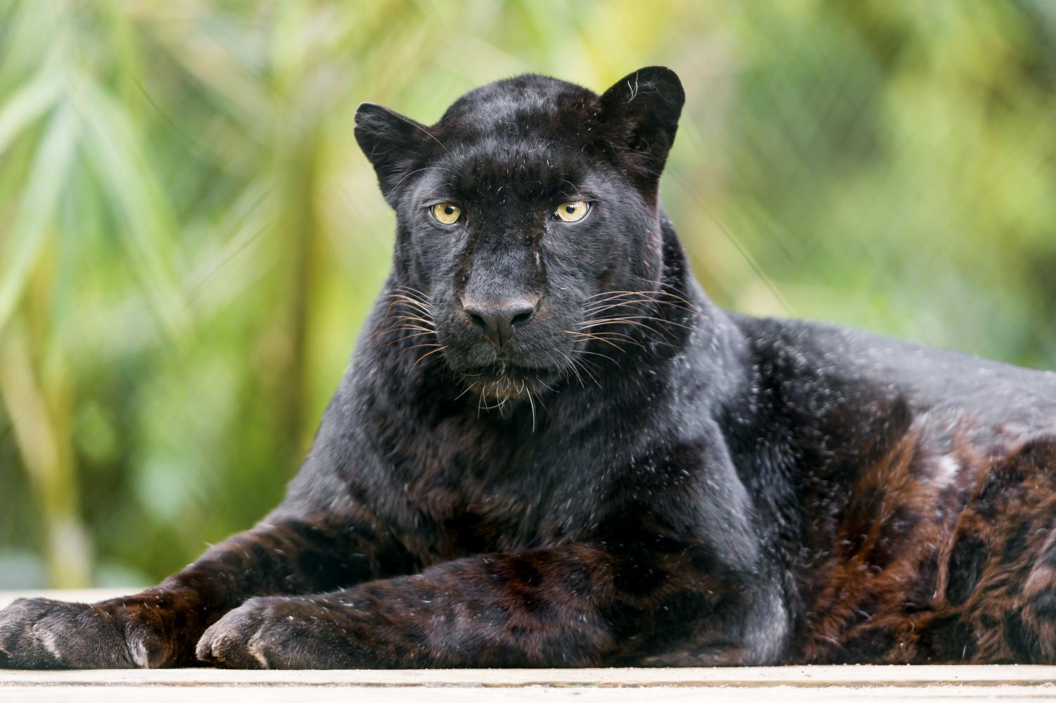 A male black leopard relaxes on a wooden platform. Trophy hunting has become a global conversation as numbers of endangered species further diminish.