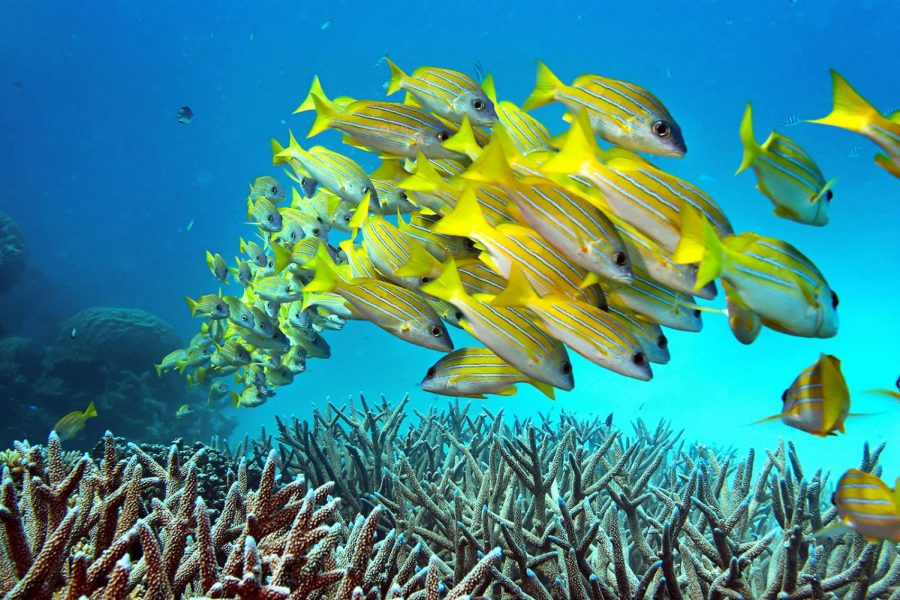 A+school+of+fish+hovers+over+staghorn+coral+on+the+Great+Barrier+Reef+in+Australia.