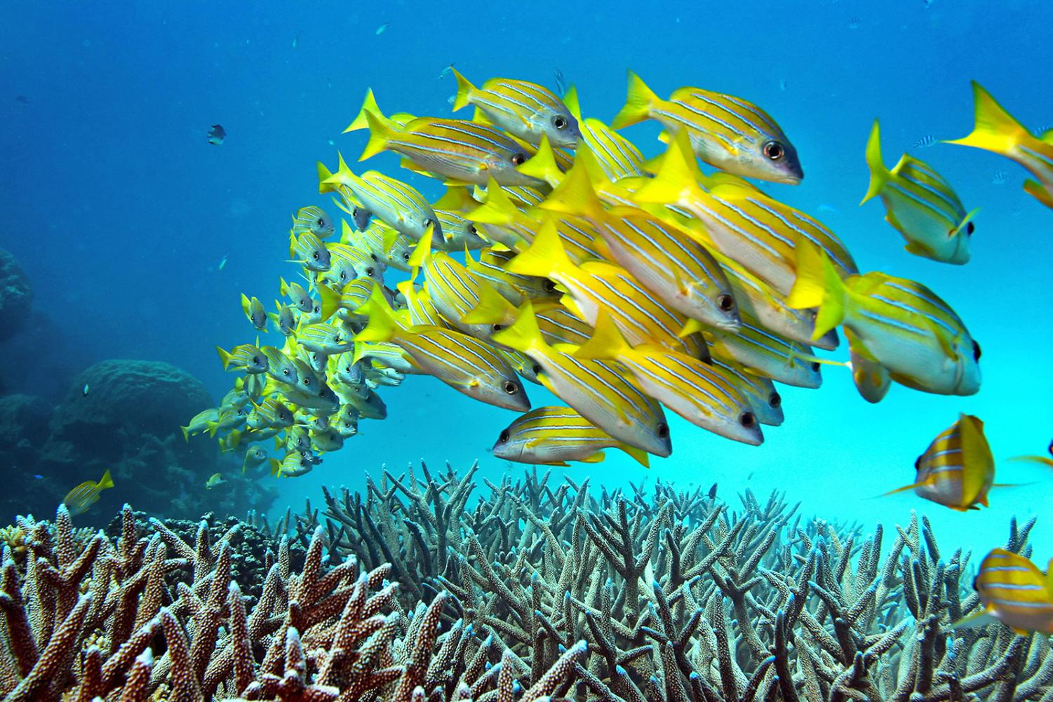 A school of fish hovers over staghorn coral on the Great Barrier Reef in Australia.