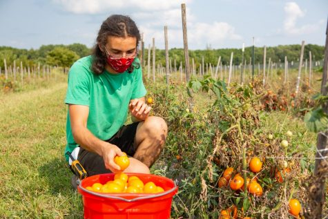 Junior Bob Rogge harvests tomatoes at the Student Sustainable Farm on Monday afternoon.