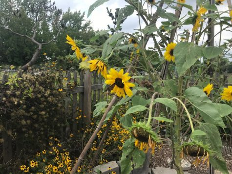 Sunflowers bloom in sophomore Lily Dolan's backyard garden.