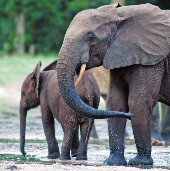 Elephants graze in the rainforest on the Dzanga Sangha Reserve in the southwestern part of the Central African Republic. University professors and researchers have pioneered nationally recognized advancements in the study of elephants.