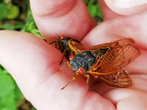Cicadas return, specific brood emerges in Illinois counties